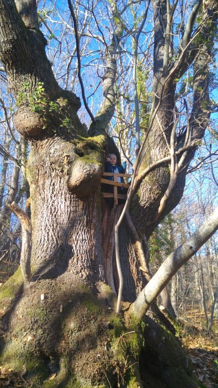 sweet chestnut tree in Asturias